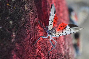Natural control of Spotted Lanternfly