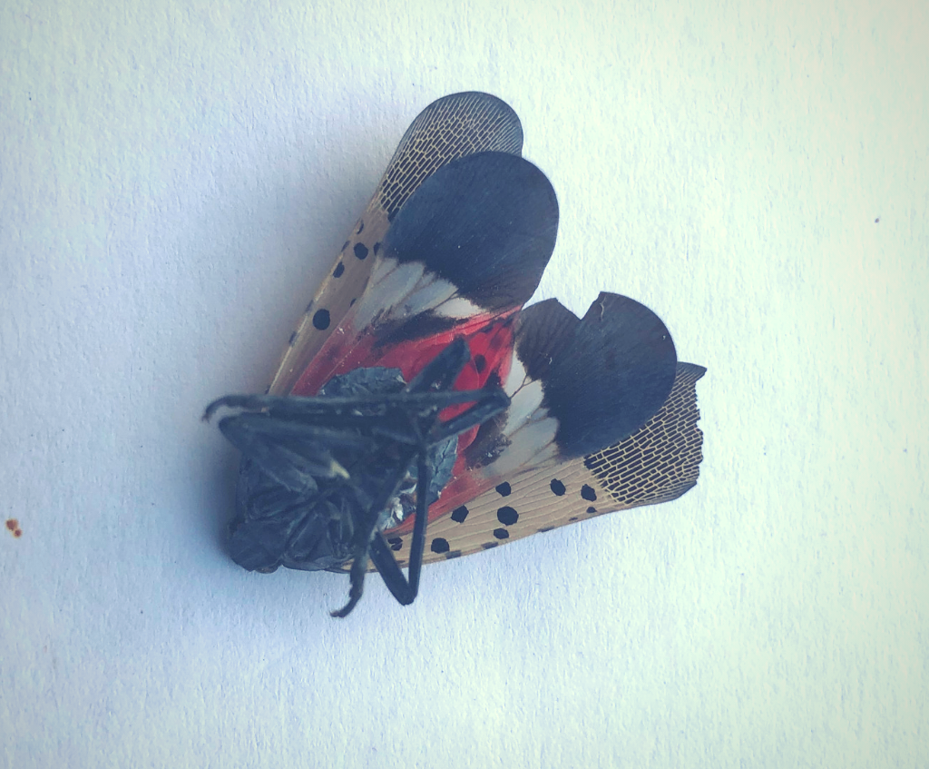 Photo Caption: a dead adult Spotted Lanternfly after being controlled with a direct spray application of Stop The Bites®! applied to the trunk of a Tree of Heaven in Delaware in August of 2020. Photo credit: Arkion Lifesciences 2020