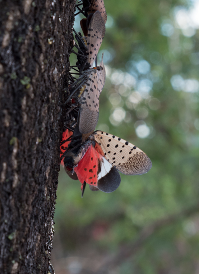 Invasive pests - Spotted Lanternfly