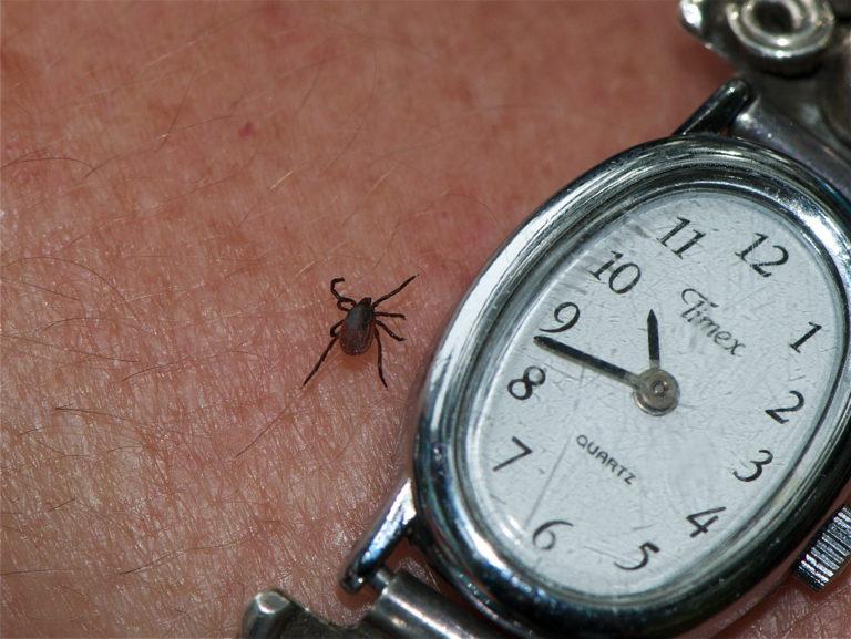 Black Legged tick