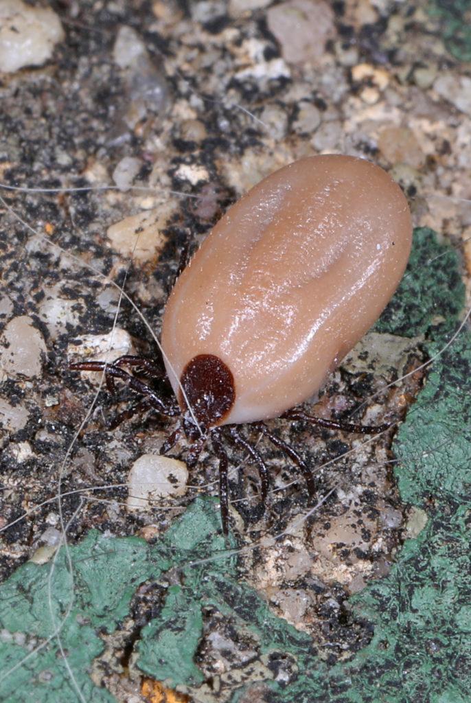 Black legged ticks spread Lyme disease