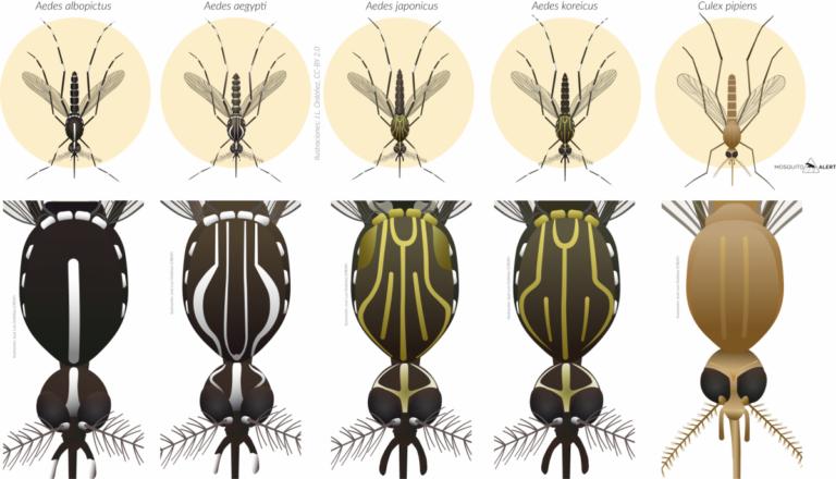 Mosquito Alert Image