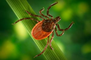 backlegged tick
