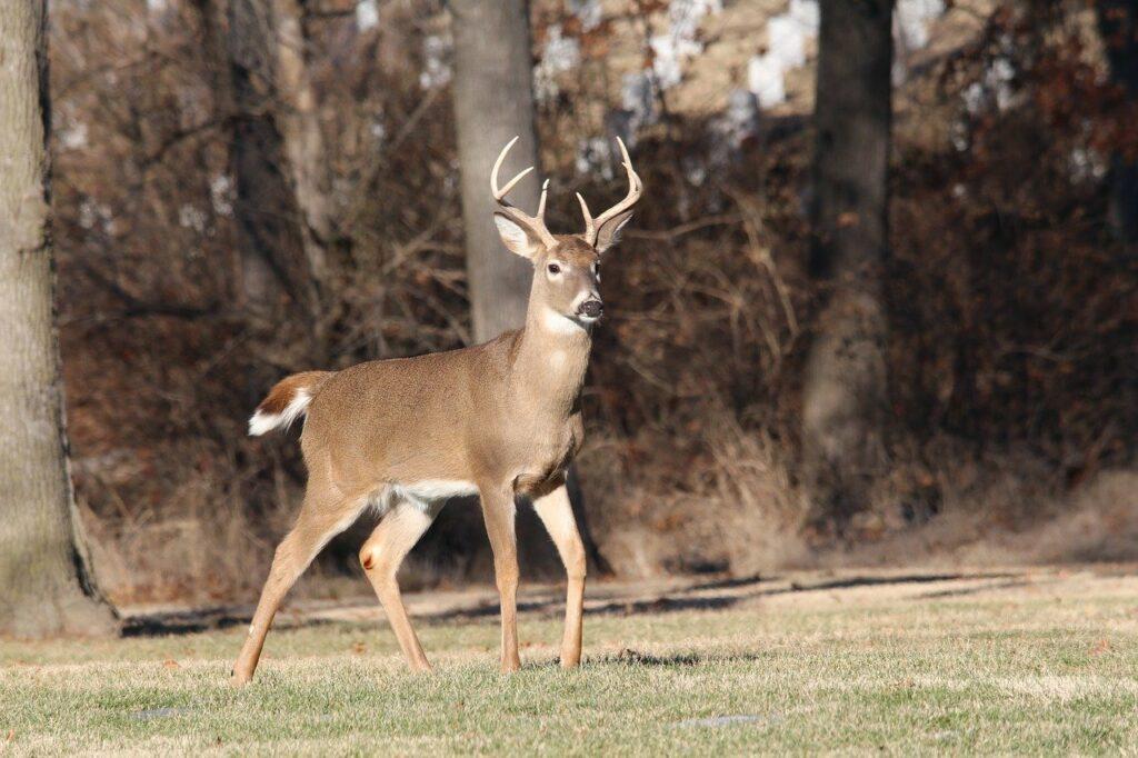deer, buck, wildlife