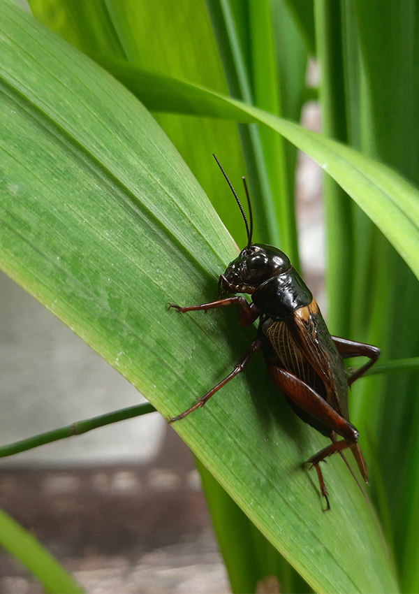 a cricket on leaf, macro photography